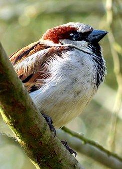 House Sparrow, Sparrow, Bird, Wildlife, Nature, Animal