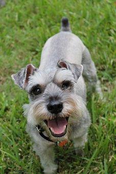 Miniature Schnauzer, Schnauzer, Animal, Canine