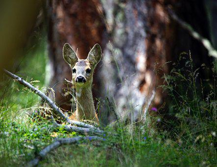 Roe, Animal, Italian, Park, Animals, Nature, Fawn