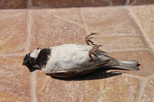 Sparrow, Dead, Bird, Accident, Wildlife, Avian