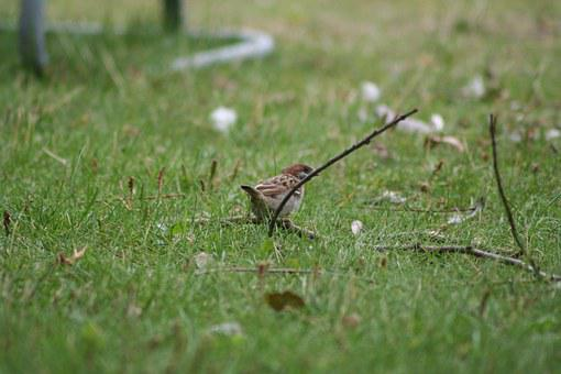 Passer Domesticus, Bird, Sparrow, Nature, Outside
