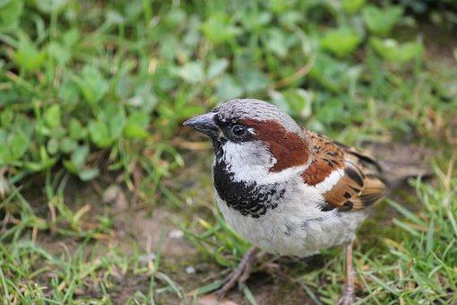 House Sparrow, Sparrow, Bird, Male, Passer, Domesticus