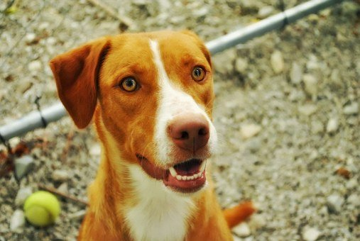 Dog, Tennis Ball, Pet, Happy, Ball, Dog Playing, Canine