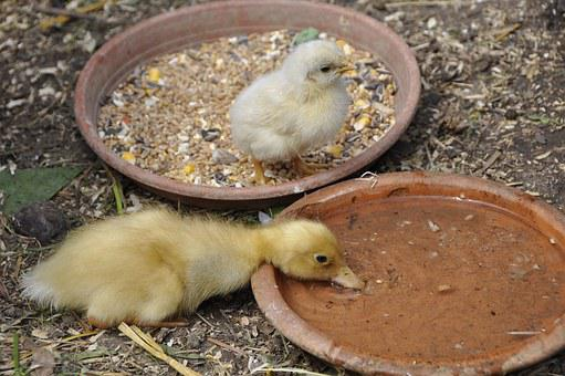 Chicks, Duck, Chicken, Natural Breed, Poultry, Animals