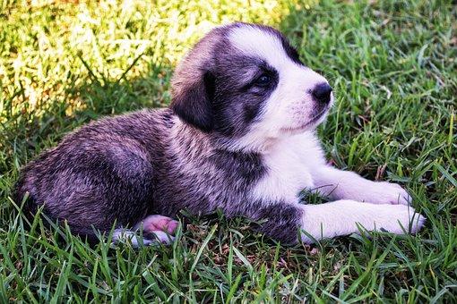 Puppy, Dog, Shepherd, Cute, Pet, Canine, Animal, White