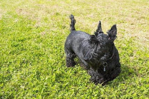 Dog, Terrier, Scottish Terrier, Black, Sunny, Cute