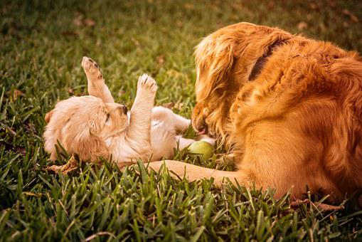 Puppy, Golden Retriever, Dog, Golden, Retriever, Pet