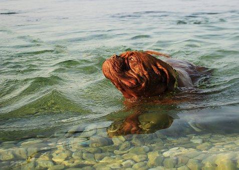 Dog, Bordeaux, De, Dogue, Water, Pond, Nature, River