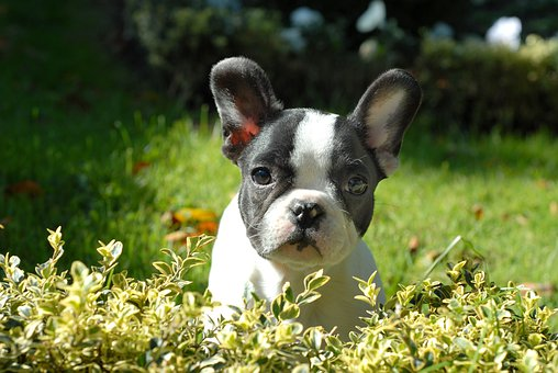Puppy, Animal, Happy, Grass, Small, Dog, Frenchie