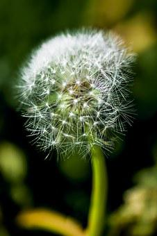 Dandelion, Impression, Blur, Flower, Nature, Plant