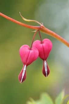 Bleeding Heart, Flower, Nature, Natural Pink