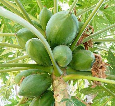 Food, Fruit, Papaya, Papaya Tree, Fruits, Healthy