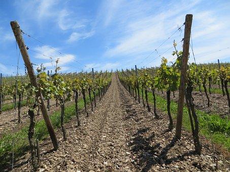 Vineyards, Grapes, Vines, Fruits, Perennials, Wine