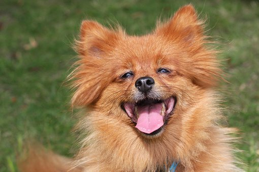 Spitz, Dog, Happy, Laughing, Ginger, Close-up, Photo