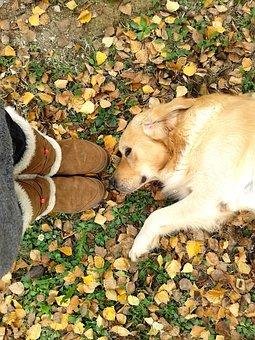 Golden Retriever, Autumn, Leaves, Dog, Golden, Pet