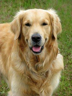 Dog, Golden Retriever, Golden, Retriever, Pet, Animal
