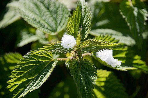 Stinging Nettles, Snow, Plant, Green, First Snow