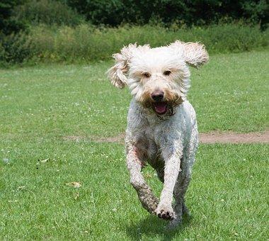 Goldendoodle, Dog, Happy, Running, Field, Pasture, Pet
