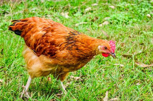 Chicken, Fowl, Hen, Farm, Bird, Poultry, Farming