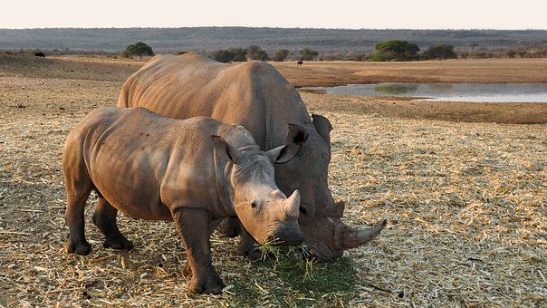 Rhino, Africa, Namibia, Nature, Dry, National Park