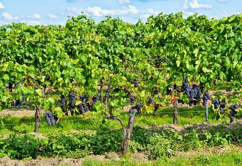 Grapes, Palatinate, Wine, Autumn, Vineyard
