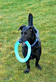 Dog, Frisbee, Pet, Disc, Park, Happy, Playful, Terrier