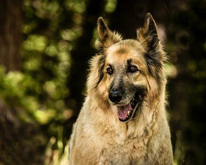 Shepherd Mix, Dog, Pet, Mix, Happy, Canine, Portrait