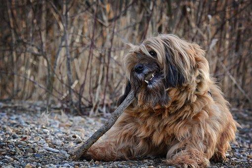 Dog, Face, Head, Tibetan Terrier, Animal, Pet, Portrait