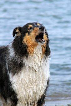 Collie, Dog, Water, Barking, Protect, Sea, Baltic Sea