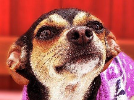 Puppies, Dog, Cute, Pet, Puppy, Adorable, Purebred