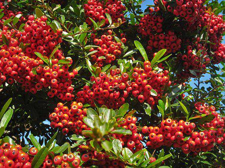 Pyracantha Scan, December, Winter, Red, Real, Otsu Park