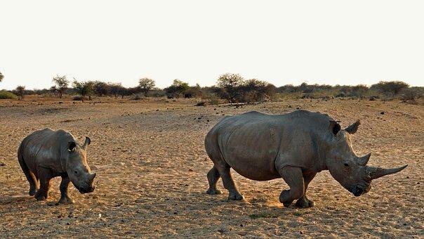 Rhino, Rhino Baby, Africa, Namibia, Nature, Dry