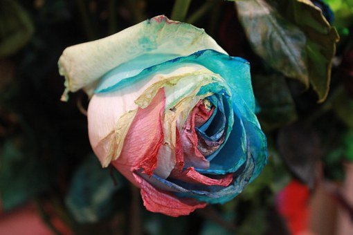 Flowers, Rose, Rainbow Rose, Artificial, Nature