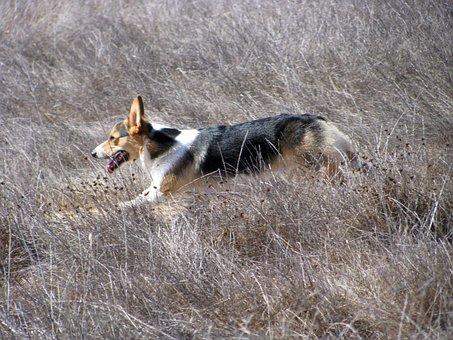 Dog, Running, Corgi, Sagebrush, Pet, Fun, Motion, Happy