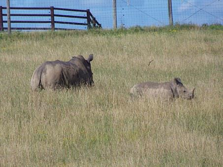 Rhino, Southern White Rhino, The Wilds, Africa