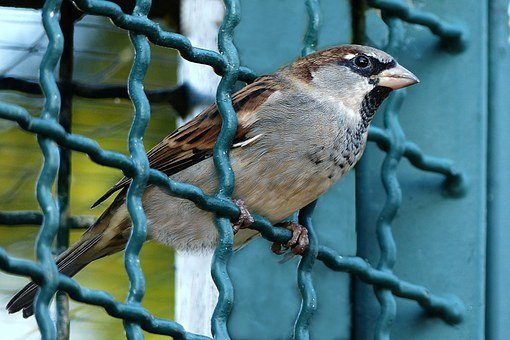 Bird, Sparrow, Passer Domesticus, Grid, Fence, Freedom