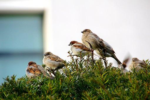 Sparrow, Songbird, Sperling, Bird, Sitting, Branch