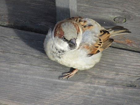 Sperling, Sparrow, Bird, House Sparrow