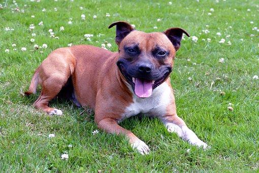 Dogs, Staffordshire, Terrier, Purebred, Domestic, Breed
