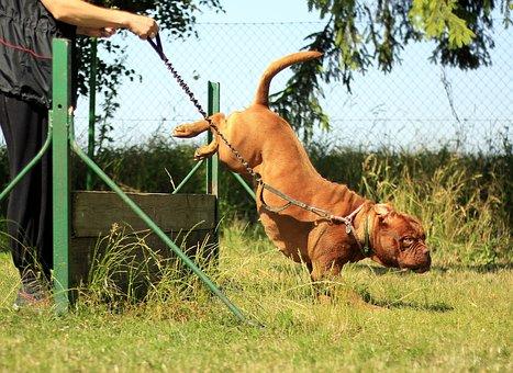 Training, Bordeaux, Mastiff, Dog, Summer, Nature, Sunny