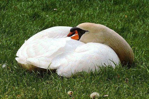 Swan, Mute Swan, Concerns, Sleep, Swan Sleeping, Meadow