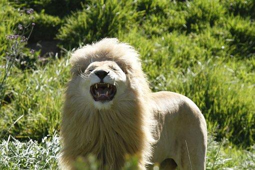 Lion, Grin, Agressive, Roar, Africa, Open Mouth, Teeth