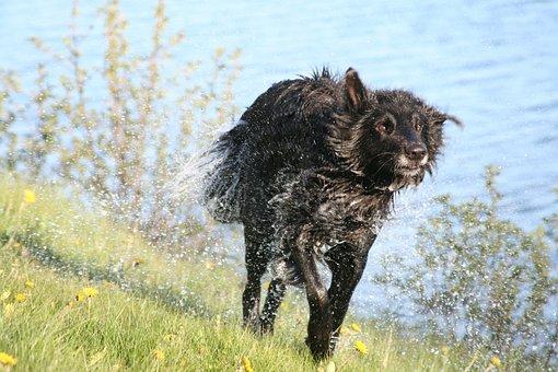 Dog, Wet, The Pleasure Of, Happy, Groenendael