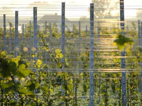 Grapevine, Post, Winegrowing, Vine, Vines, Wine, Grapes