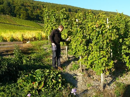 Man, Person, Vineyard, Winegrowing, Vines, Vines Stock