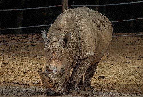 White Rhinoceros, White Rhino, Rhinoceros, Rhino
