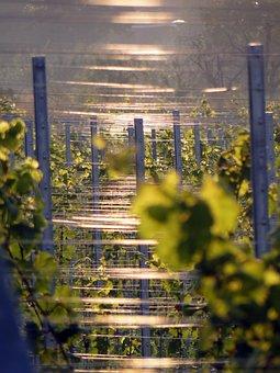 Vines, Vineyard, Winegrowing, Vine, Wine, Grapes