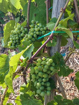 Wine, Grapes, Vine, Cultivation, Winegrowing, Plant
