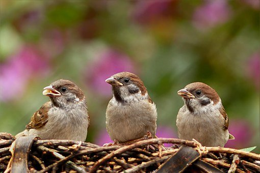 Sparrows, Passer Domesticus, Bird, Young, Foraging