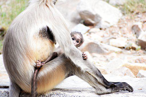 Gray Langurs, Mother, Baby, Baby Monkey, Animals